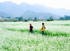 Những cánh đồng hoa cải nở trắng xóa cả đất trời là nét đặc trưng của Mai Châu vào tháng 11