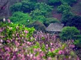 Du lịch Mai Châu tháng 12 du khách sẽ có cơ hội chiêm ngưỡng vẻ đẹp của hoa đào và hoa mận