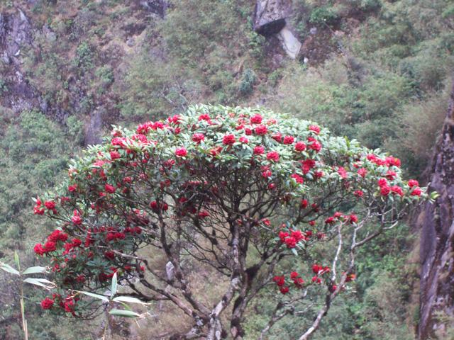 Vẻ đẹp hoa đỗ quyên chỉ có tại Sapa tháng 5